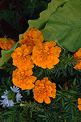 Durango Orange Marigold (Tagetes patula 'Durango Orange') at Shelmerdine Garden Center