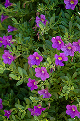 MiniFamous® Compact Blue Calibrachoa (Calibrachoa 'MiniFamous Compact Blue') at Shelmerdine Garden Center