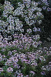 Clear Crystal Lavender Shades Sweet Alyssum (Lobularia maritima 'Clear Crystal Lavender Shades') at Shelmerdine Garden Center