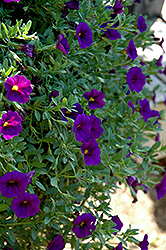Celebration Dark Blue Calibrachoa (Calibrachoa 'Celebration Dark Blue') at Shelmerdine Garden Center