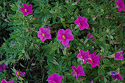 Lindura Pink Calibrachoa (Calibrachoa 'Lindura Pink') at Shelmerdine Garden Center
