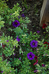 Lindura Purple Calibrachoa (Calibrachoa 'Lindura Purple') at Shelmerdine Garden Center