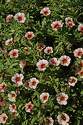 Can-Can® Strawberry Calibrachoa (Calibrachoa 'Can-Can Strawberry') at Shelmerdine Garden Center