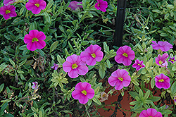 Aloha Pink Calibrachoa (Calibrachoa 'Aloha Pink') at Shelmerdine Garden Center