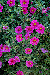 Aloha Hot Pink Calibrachoa (Calibrachoa 'Aloha Hot Pink') at Shelmerdine Garden Center