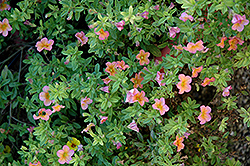 Noa Salmon Calibrachoa (Calibrachoa 'Noa Salmon') at Shelmerdine Garden Center