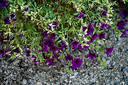 Noa Midnight Blue Calibrachoa (Calibrachoa 'Noa Midnight Blue') at Shelmerdine Garden Center