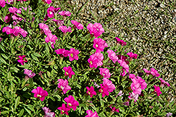 Noa Dark Pink Calibrachoa (Calibrachoa 'Noa Dark Pink') at Shelmerdine Garden Center
