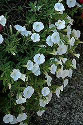 Noa White Calibrachoa (Calibrachoa 'Noa White') at Shelmerdine Garden Center