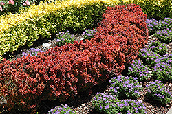 Royal Burgundy Japanese Barberry (Berberis thunbergii 'Gentry') at Shelmerdine Garden Center