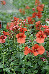 Juliet Orange Twinspur (Diascia 'Juliet Orange') at Shelmerdine Garden Center