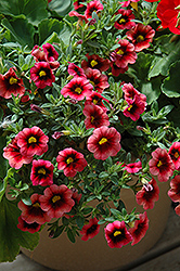 Superbells® Coralberry Punch Calibrachoa (Calibrachoa 'Superbells Coralberry Punch') at Shelmerdine Garden Center