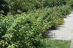 Heritage Raspberry (Rubus 'Heritage') at Shelmerdine Garden Center