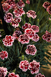 EverLast™ Lilac plus Eye Pinks (Dianthus 'EverLast Lilac Plus Eye') at Shelmerdine Garden Center