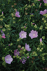 Party Girl Prairie Mallow (Sidalcea 'Party Girl') at Shelmerdine Garden Center