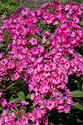 Pink Flame Garden Phlox (Phlox paniculata 'Pink Flame') at Shelmerdine Garden Center