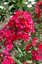 Red Flame Garden Phlox (Phlox paniculata 'Red Flame') at Shelmerdine Garden Center