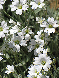 Snow-In-Summer (Cerastium tomentosum) at Shelmerdine Garden Center