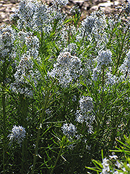 Narrow-Leaf Blue Star (Amsonia hubrichtii) at Shelmerdine Garden Center