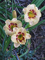 Canadian Border Patrol Daylily (Hemerocallis 'Canadian Border Patrol') at Shelmerdine Garden Center