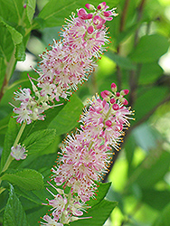 Ruby Spice Summersweet (Clethra alnifolia 'Ruby Spice') at Shelmerdine Garden Center