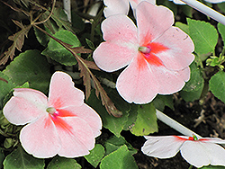 Super Elfin® XP Salmon Splash Impatiens (Impatiens walleriana 'Super Elfin XP Salmon Splash') at Shelmerdine Garden Center