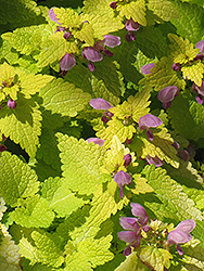 Golden Spotted Dead Nettle (Lamium maculatum 'Aureum') at Shelmerdine Garden Center