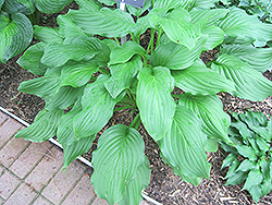 Honeybells Hosta (Hosta 'Honeybells') at Shelmerdine Garden Center