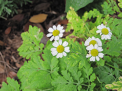Feverfew (Tanacetum parthenium) at Shelmerdine Garden Center