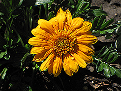 Sunbathers Gold Coast Gazania (Gazania 'Sunbathers Gold Coast') at Shelmerdine Garden Center