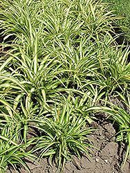 Variegated Spider Plant (Chlorophytum comosum 'Variegatum') at Shelmerdine Garden Center