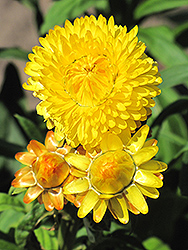 Dreamtime Jumbo Yellow Strawflower (Bracteantha bracteata 'Dreamtime Jumbo Yellow') at Shelmerdine Garden Center