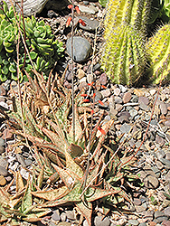 Pink Blush Aloe (Aloe 'Pink Blush') at Shelmerdine Garden Center