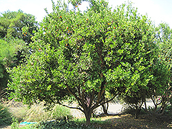 Calamondin (Citrofortunella x mitis) at Shelmerdine Garden Center