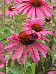 Ruby Star™ Coneflower (Echinacea purpurea 'Rubinstern') at Shelmerdine Garden Center