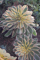 Sunburst Aeonium (Aeonium 'Sunburst') at Shelmerdine Garden Center