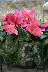 Halios HD DHIVA Salmon Cyclamen (Cyclamen 'Halios HD DHIVA Salmon') at Shelmerdine Garden Center