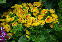 Cinderella Yellow Pocketbook Flower (Calceolaria 'Cinderella Yellow') at Shelmerdine Garden Center