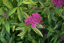 Double Play® Painted Lady® Spirea (Spiraea japonica 'Minspi') at Shelmerdine Garden Center