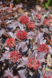 Ginger Wine™ Ninebark (Physocarpus opulifolius 'SMNPOBLR') at Shelmerdine Garden Center