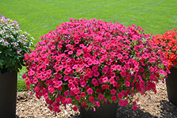 Supertunia Vista® Fuchsia Petunia (Petunia 'Supertunia Vista Fuchsia') at Shelmerdine Garden Center