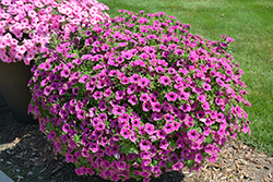 Supertunia® Pretty Much Picasso Petunia (Petunia 'Supertunia Pretty Much Picasso') at Shelmerdine Garden Center