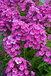 Grape Lollipop™ Garden Phlox (Phlox paniculata 'Ditomsur') at Shelmerdine Garden Center