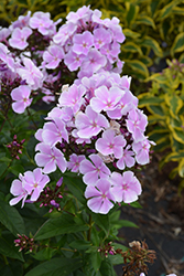 Franz Schubert Garden Phlox (Phlox paniculata 'Franz Schubert') at Shelmerdine Garden Center