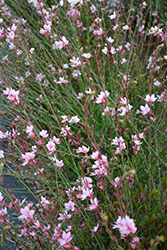 Ballerina Blush Gaura (Gaura lindheimeri 'Ballerina Blush') at Shelmerdine Garden Center