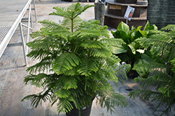 Norfolk Island Pine (Araucaria heterophylla) at Shelmerdine Garden Center
