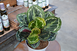 Medallion Rose Painted Calathea (Calathea roseopicta 'Medallion') at Shelmerdine Garden Center