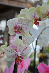 Pebble Beach Orchid (Phalaenopsis 'Pebble Beach') at Shelmerdine Garden Center