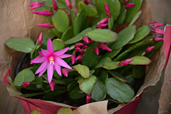 Cerise Easter Cactus (Hatiora gaertneri 'Cerise') at Shelmerdine Garden Center