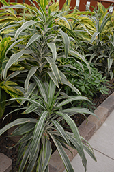 Warneckii Dracaena (Dracaena fragrans 'Warneckii') at Shelmerdine Garden Center